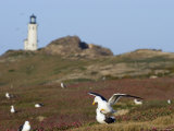 Lighthouse and Western Gulls on Anacapa Island  California