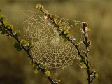 Dew Highlights an Orb-Weaver Spider's Web