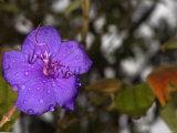 Glory or Purple Princess Flower  Tibouchina Urvilleana Close-Up Stamen  California