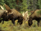 Rutting Bull Moose Fighting  Alaska