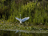 Great White Egret Coming in for a Landing with Outspread Wings  Groton  Connecticut
