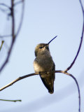 Costa's Hummingbird Perched at Ellwood Bluffs  California