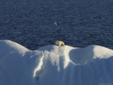 Polar Bear Sitting on Iceberg  Svalbard Islands  Norway