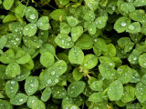 Lush Green Ground Cover with Morning Dew