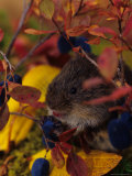 Red Backed Vole with Blueberry  Alaska