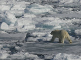 Polar Bear Walking on Iceberg  Svalbard Islands  Norway