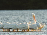 Portrai of American White Pelicans  Sanibel Island  Florida