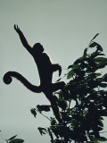 Grey Wooly Monkey Hurls Itself from a Bough in the Rain Forest