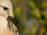 Portrait of a Florida Red-Shouldered Hawk