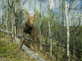 Newborn Calf Moose Stands in a Quaking Aspen Grove  Alaska
