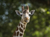 Reticulated Giraffe Sticks its Tongue Out at the Camera  Henry Doorly Zoo  Nebraska