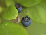 Northern Highbush Blueberries Ripen on the Bush