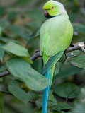 Ring-Necked Parakeet at the Kansas City Zoo
