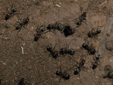 Meat Ants  Iridomyrmex Species  Defend a Colony Nest Hole from Attack  Australia
