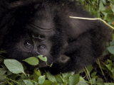Mountain Gorilla Relaxes in the Cool Shade of a Tropical Rainforest