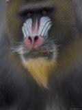 Mandrill at the Rolling Hills Zoo
