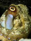 Maori Octopus Breathes Through It's Syphon Whilst Resting in a Cave  Australia