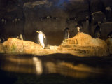 Penguins Line the Rocks in their Habitat at the Pittsburgh Zoo  Pennsylvania