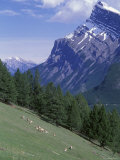 Rocky Mountain Bighorn Sheep and Mount Rundle