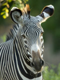 Plains Zebra from the Sedgwick County Zoo  Kansas