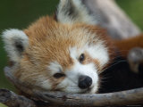 Red Panda at the Sunset Zoo