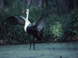 Portrait of a Wattled Crane in a Marsh with It's Wings Spread