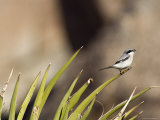 Loggerhead Shrike at Cottonwood Springs  Joshua Tree National Park  California