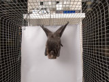 Rodrigues Fruit Bat  Lincoln  Nebraska