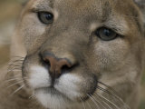 Mountain Lion  or Puma at the Rolling Hills Zoo