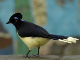 Plush-Crested Jay at the Tulsa Zoo