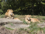 Pair of Lions in the Pittsburgh Zoo  Pennsylvania
