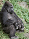 Relaxed Western Lowland Gorilla Mother Tenderly Nursing Her Infant  Melbourne Zoo  Australia