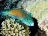 Parrotfish with Coral  Takapoto Atoll  French Polynesia