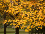 Maple Trees Reach their Peak of Fall Color