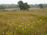 Man Walks in a Stand of Virgin Tallgrass Prairie in Nebraska