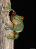 Red Eyed Tree Frog  Litoria Chloris  Clinging Vertically to a Branch  Australia