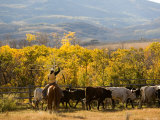 Roping Steers at the Home Ranch  Colorado
