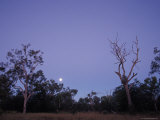 Moonrise over Queenslands Ghost Gum Eucalypts and Outback Scrub Trees  Australia