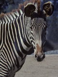 Portrait of a Zebra in the San Diego Zoo  California