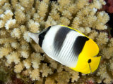 Pacific Double-Saddle Butterflyfish  Takapoto Atoll  French Polynesia