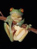 Red Eyed Tree Frog  Litoria Chloris  Clinging to a Branch  Australia