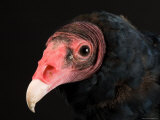 Portrait of a Turkey Vulture  Lincoln  Nebraska