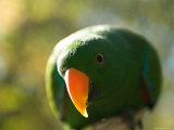 Male Solomon Island Eclectus Parrot