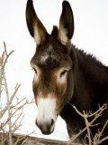 Portrait of a Mule in Fresh Snow Papier Photo par Stephen St. John
