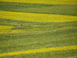 People in a Rapeseed Field  Qinghai  China