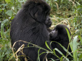 Mountain Gorilla Suckles Her Infant in a Tropical Rainforest