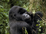 Male Silverback Mountain Gorilla Feeding in a Tropical Rainforest