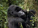 Male Silverback Mountain Gorilla Feeding in a Tropical Rainforest