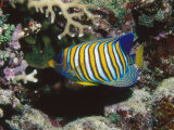 Regal Angelfish in Coral Reef  Pygoplites Diacanthus  Lau islands  Fiji