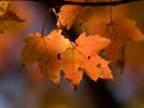 Maple Leaves in the Fall in Middlebury  Vt